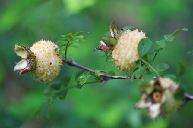 Rosa roxburghii normalis(十六夜バラの一重咲き)-03