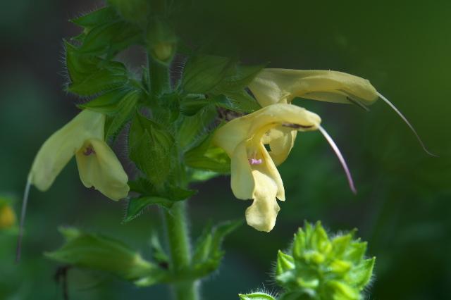 Salvia nipponica-01