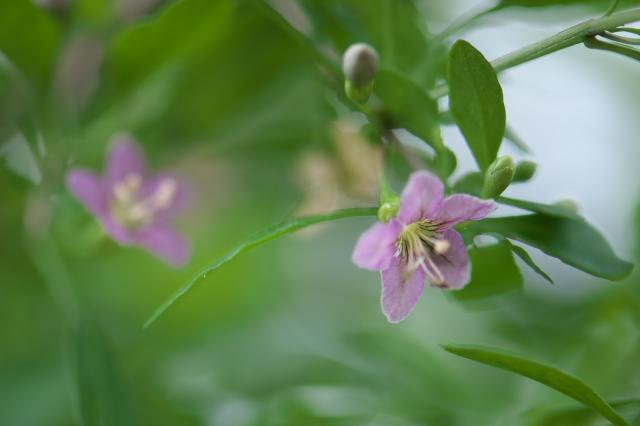 クコの花-02