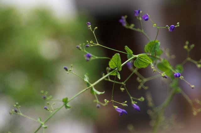 黒花ヒキオコシ(Rabdosia trichocarpa)-01
