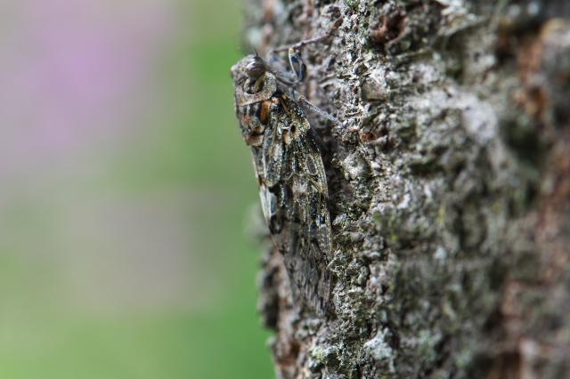 ニイニイゼミ( Platypleura kaempferi)-03