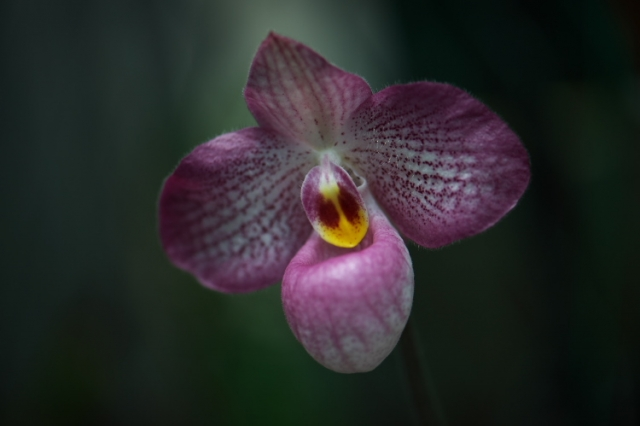 Paphiopedilum Magic Lantern-01