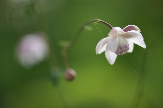 レンゲショウマの開花-03