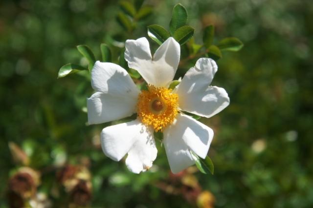 カカヤンバラ(Rosa bracteata)-02