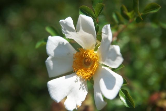 カカヤンバラ(Rosa bracteata)-03