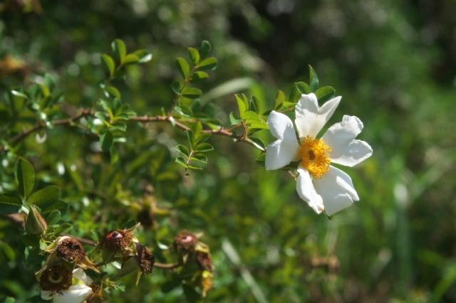 カカヤンバラ(Rosa bracteata)-01
