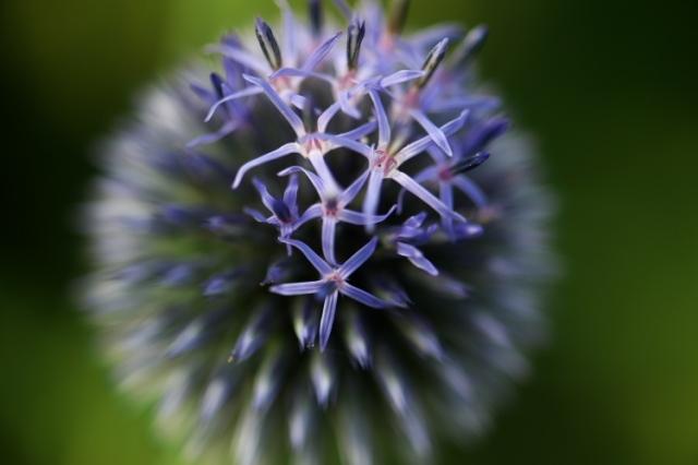 瑠璃玉アザミ(Echinops)-05
