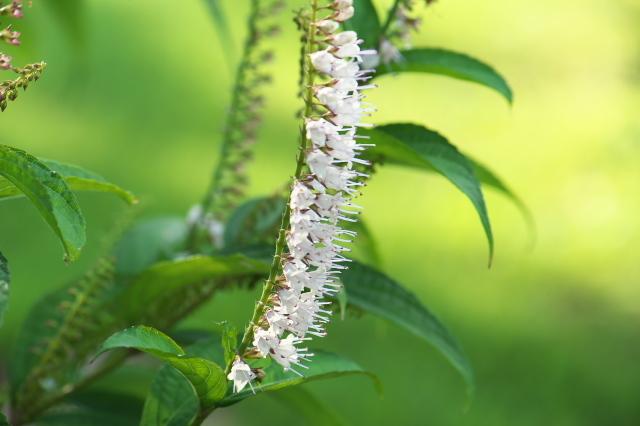 シモバシラの可愛い花