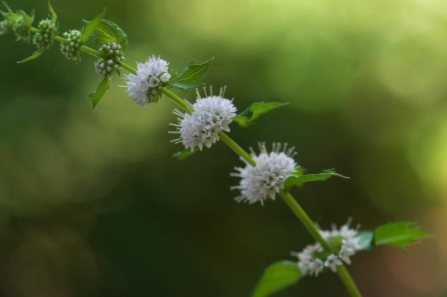 スペアミントの花-02