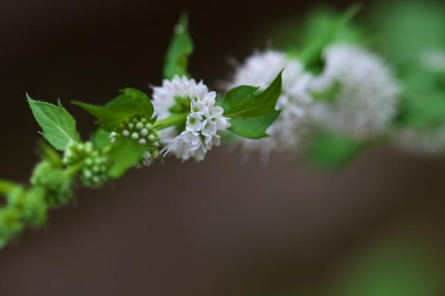 スペアミントの花-04