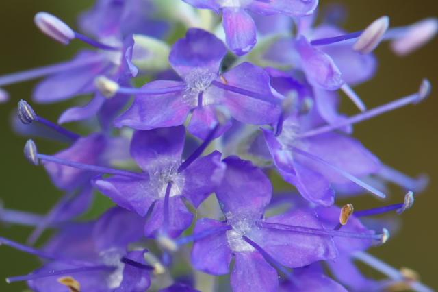 トウテイランの開花-06
