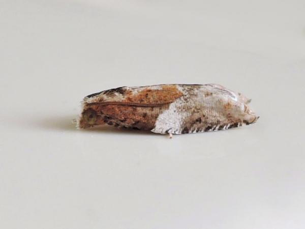 シロオビカマヒメハマキ