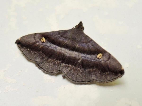 ヒメハナマガリアツバ