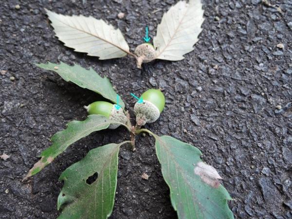 ハイイロチョッキリの落とし枝
