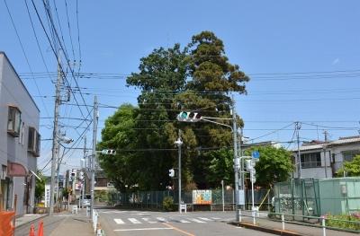 蔵敷の三本杉