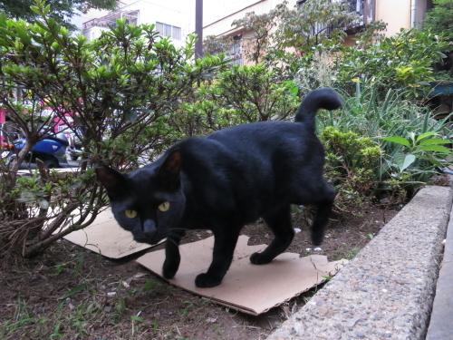 寄ってくる黒猫