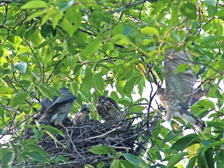 0707_ツミの幼鳥達 6