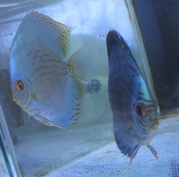 Pセルーリア稚魚自由遊泳開始