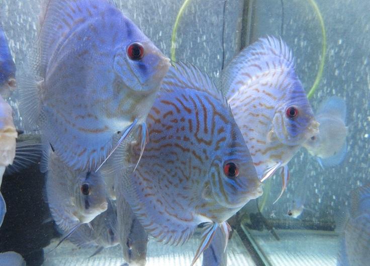 新Bi JWS若魚1