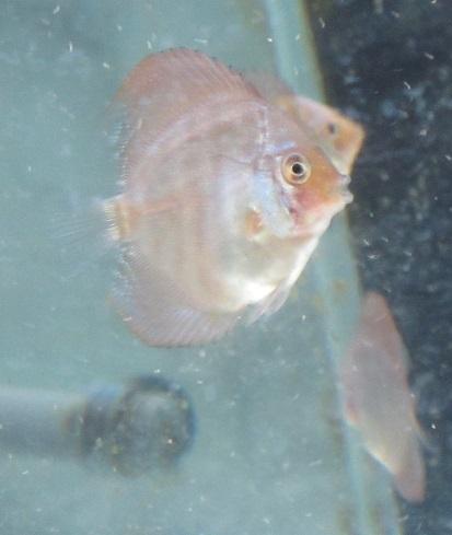 Pセルーリア幼魚 (第二ロット)生後一ケ月 2