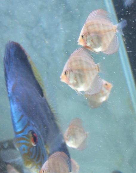 Pセルーリア幼魚 (第二ロット)生後一ケ月 1