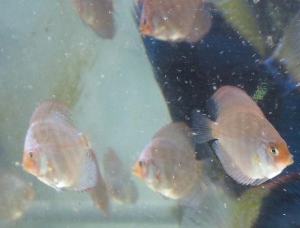 Pセルーリア幼魚2