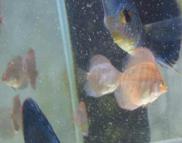 Pセルーリア幼魚1
