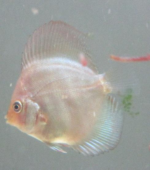 Pセルーリア幼魚クローズUP