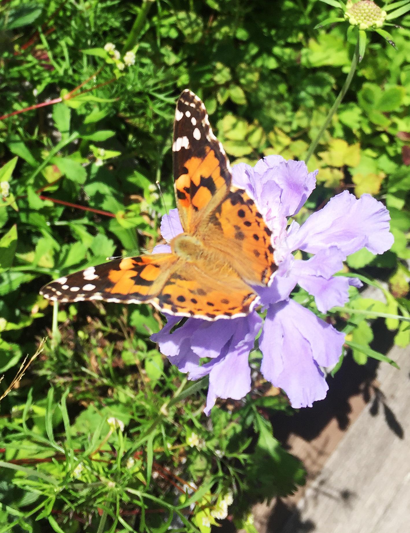 1708蓼科高原の蝶々