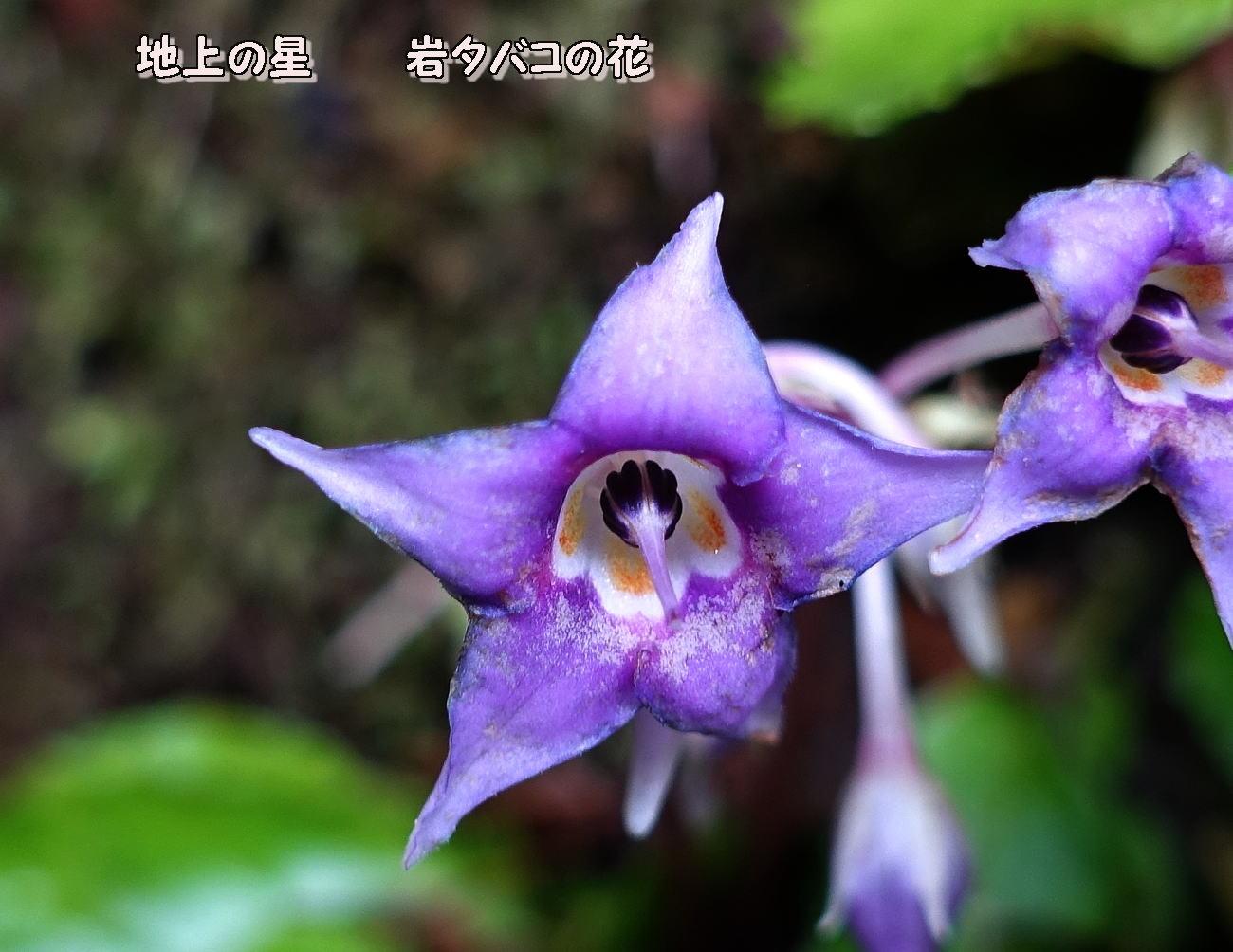 岩煙草の花