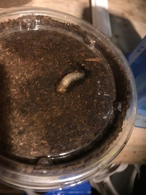 パプキン前蛹