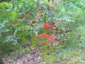 いつの間にか彼岸花もいっぱい咲きました