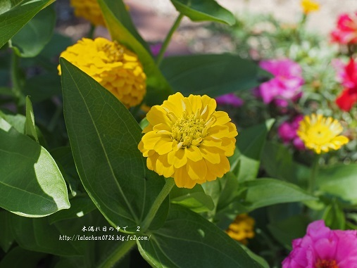 黄色の百日草