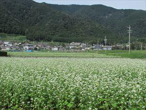 蕎麦畑 (6)_R