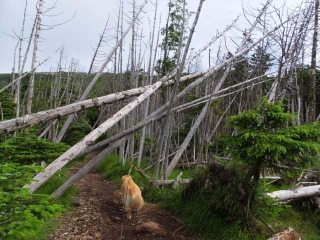 茶臼山と縞枯山 2017.8.4 140