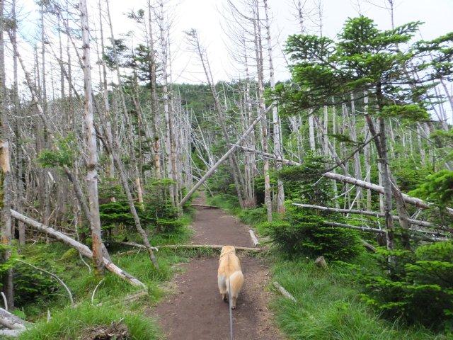 茶臼山と縞枯山 2017.8.4 223