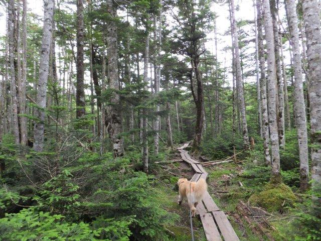 茶臼山と縞枯山 2017.8.4 296