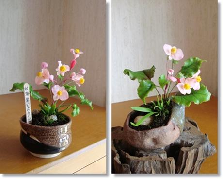 鉢植え秋海棠