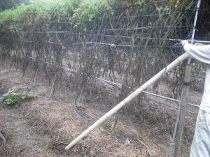 170917支えの竹を立てる2