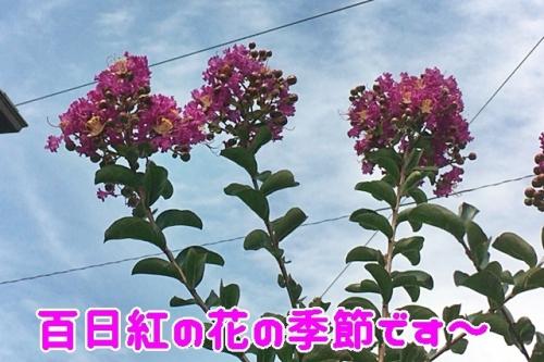 百日紅の季節