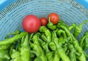 7月17日収穫・2の1