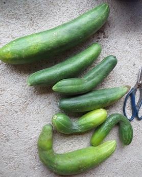 9月9日の野菜・3