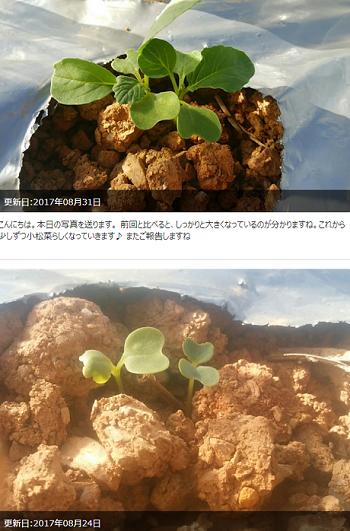 raguri 小松菜1