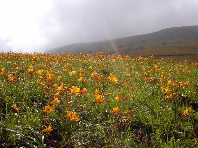 ヴィーナスラインに咲き乱れるニッコウキスゲ