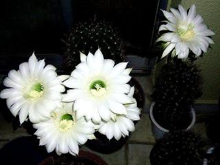 170711_4765 子サボテンの花VGA