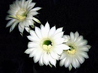 170711_4766 親サボテンの花VGA