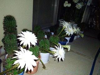 170712_4772 今夜のサボテンの花達VGA