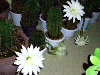 170725_4799 今夜咲いたサボテンの花5輪VGA