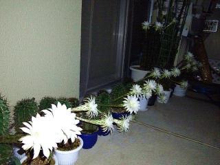 170807_4815 台風5号を待っていたかのように29輪も一気咲きしたサボテンの花VGA