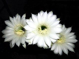 170807_4817 台風5号を待っていたかのように29輪も一気咲きしたサボテンの花zoomVGA